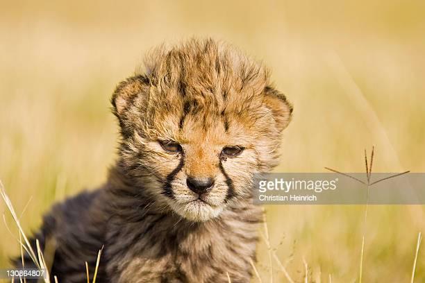 Cheetah cub (Acinonyx jubatus), Namibia, Africa