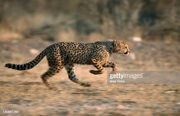 Cheetah, cub, Namibia / (Acinonyx jubatus) / side
