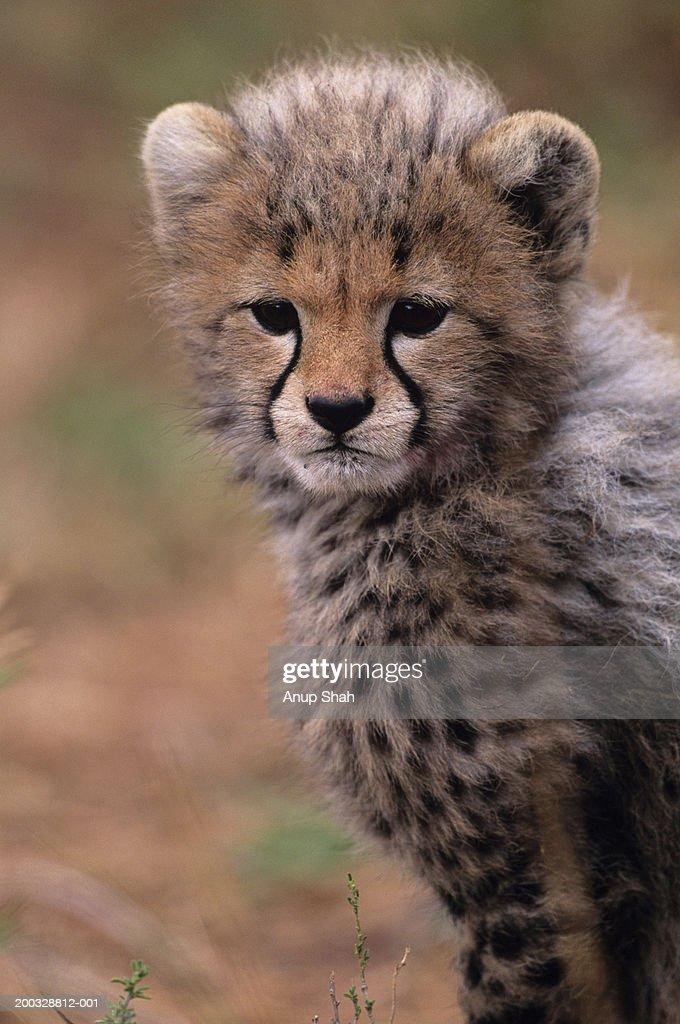 Cheetah cub (Acinonyx jubatus) on savannah, Kenya : Stock Photo
