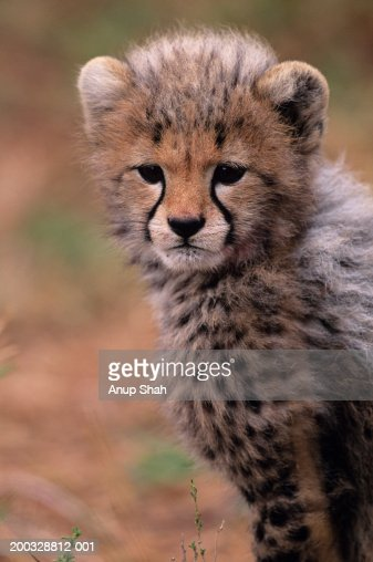 Cheetah cub (Acinonyx jubatus) on savannah, Kenya : Stock Photo