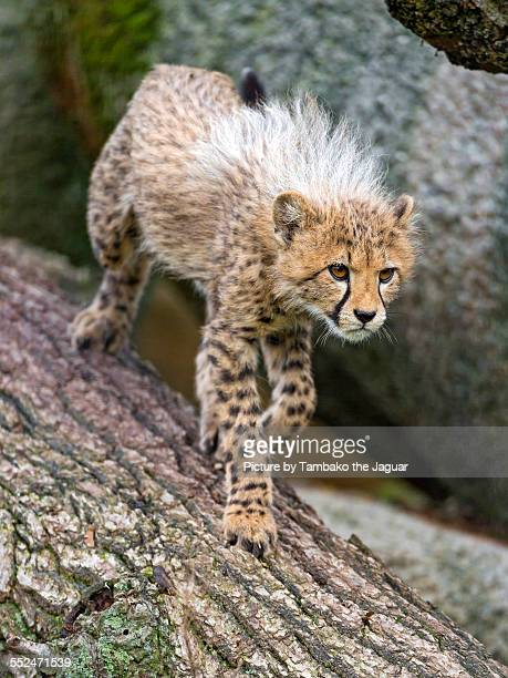 Cheetah cub on the log