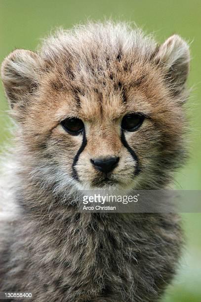 Cheetah, cub (Acinonyx jubatus)
