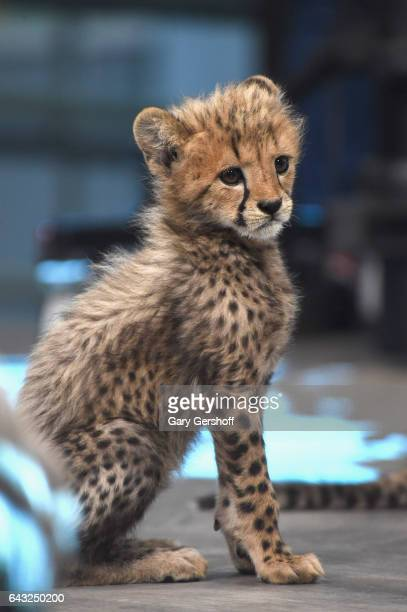 A cheetah cub seen during Build Series Presents Boone Smith discussing 'Big Cat Week' at Build Studio on February 20 2017 in New York City