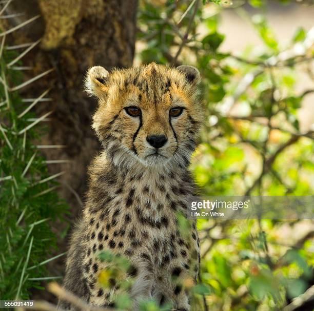 Cheetah cub, Serengeti, Tanzania, Africa