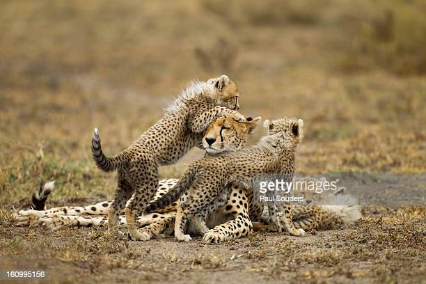Cheetah Cubs and Mother, Ngorongoro, Tanzania