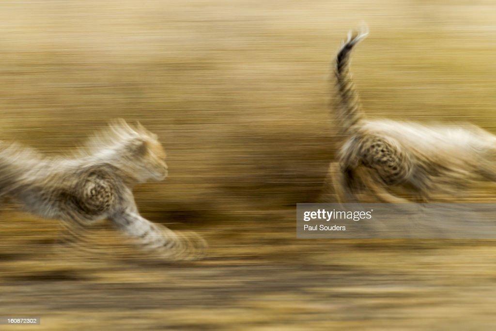 Cheetah Cubs at Play, Ngorongoro, Tanzania : Stock Photo