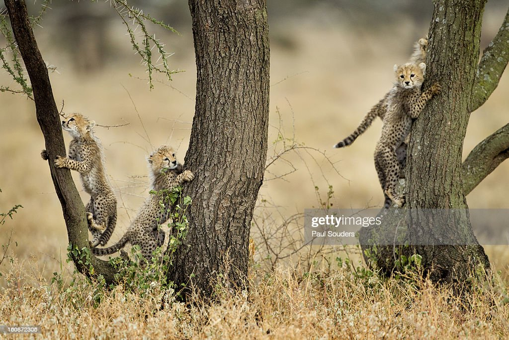 Cheetah Cubs in Tree, Ngorongoro, Tanzania : Stock Photo