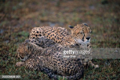 Cheetah cubs (Acinonyx jubatus) lying side by side on savannah, Kenya : Stock Photo