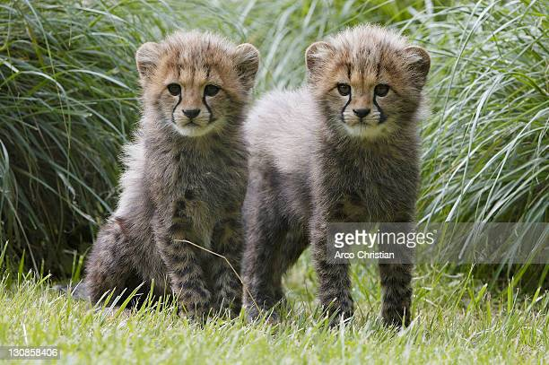 Cheetah, cubs (Acinonyx jubatus)
