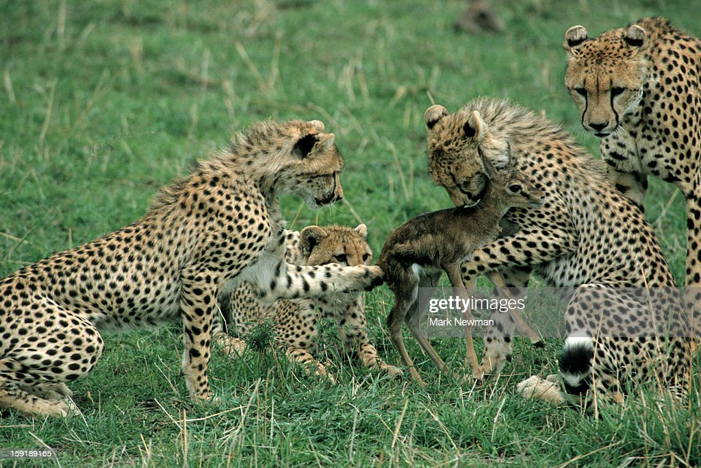 Cheetah cubs practicing hunting : Stock Photo