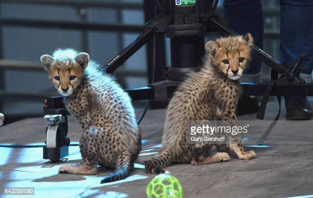 Cheetah cubs seen during Build Series Presents Boone Smith discussing 'Big Cat Week' at Build Studio on February 20 2017 in New York City