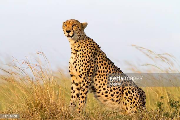 Cheetah enjoying afternoon sun, Masai Mara, Kenya