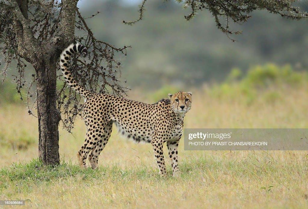 Cheetah fastest land animal : Stock Photo