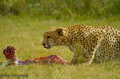 A cute cheetah having food