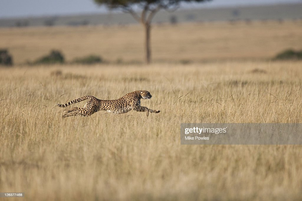 Cheetah (Acinonyx Jubatus)  female at speed, Masai Mara, Kenya, Africa : Stock Photo