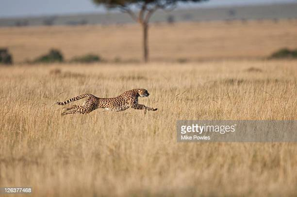 Cheetah (Acinonyx Jubatus)  female at speed, Masai Mara, Kenya, Africa