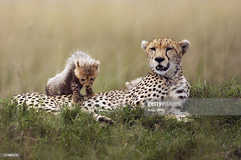 Cheetah female resting with her playful cubs : Stock Photo
