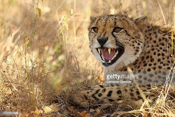 A cheetah hisses on July 20 2010 in the Edeni Game Reserve South Africa Edeni is a 21000 acre wilderness area with an abundance of game and birdlife...