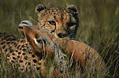 Cheetah (Acinonyx jubatus) holding it's prey, close up, Masai Mara, Kenya
