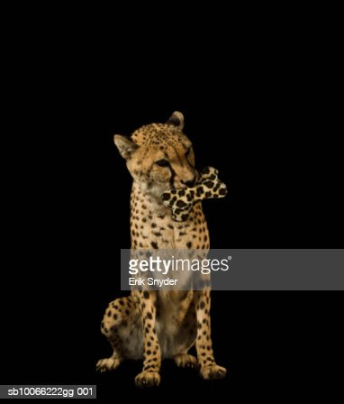 Cheetah holding spotted bone in mouth : Stock Photo