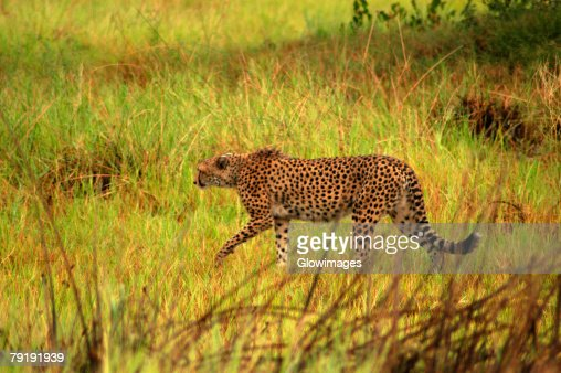 Cheetah (Acinonyx jubatus) hunting in a forest, Okavango Delta, Botswana : Foto de stock