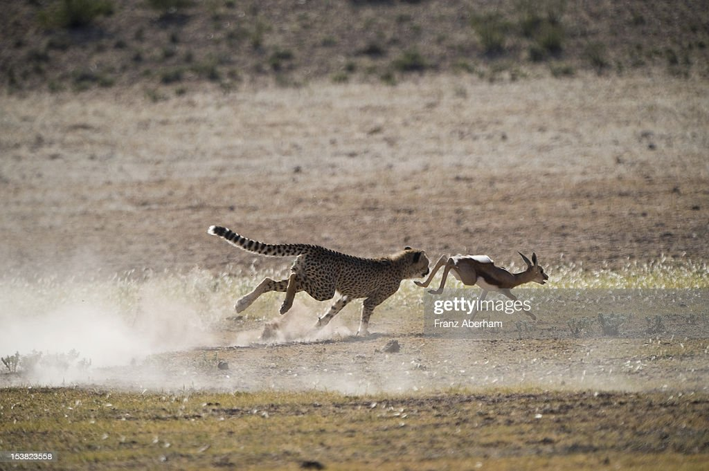 A cheetah hunting, Kalahari : Stock Photo