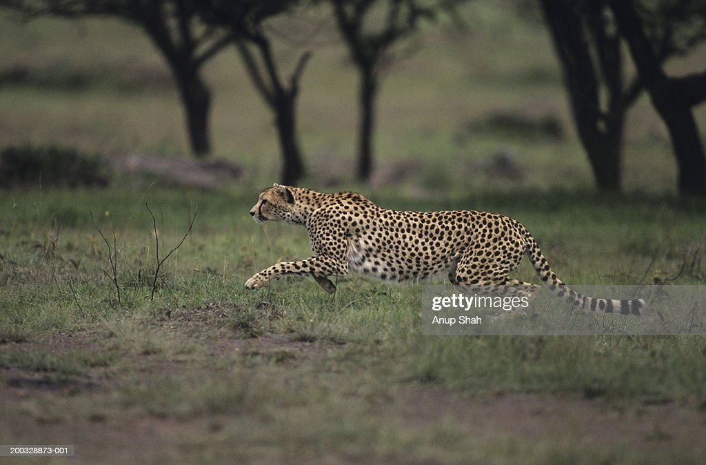 Cheetah (Acinonyx jubatus), hunting on savannah, Kenya : Stock Photo
