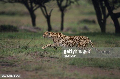 Cheetah (Acinonyx jubatus), hunting on savannah, Kenya : Stock Photo