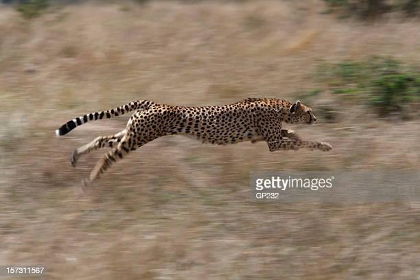Guépard chasse