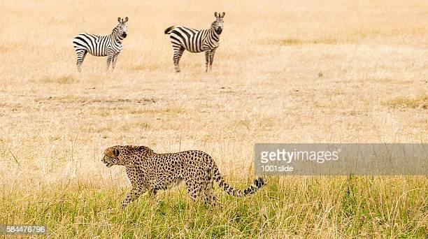 Cheetah - hunting