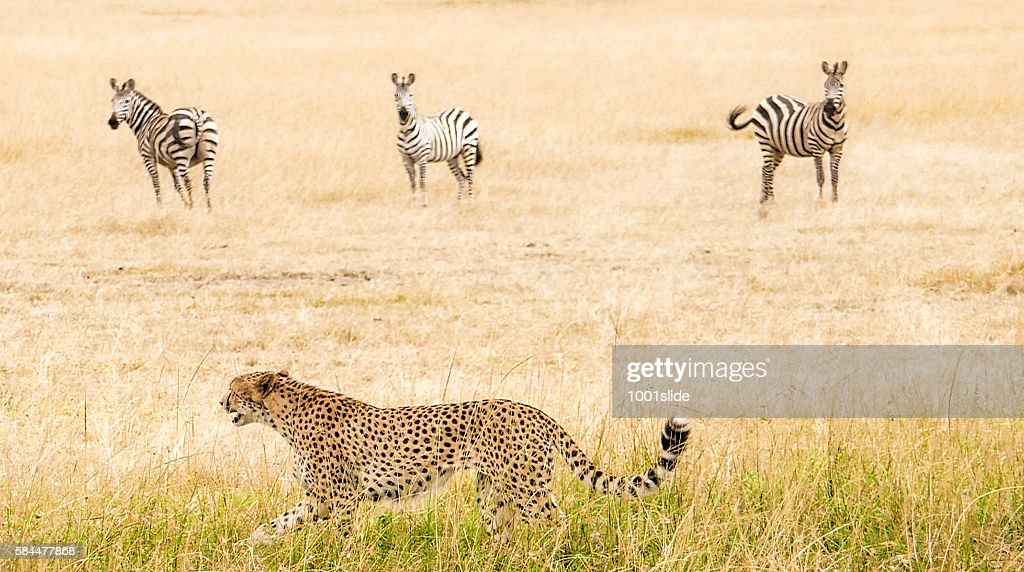 Cheetah - hunting