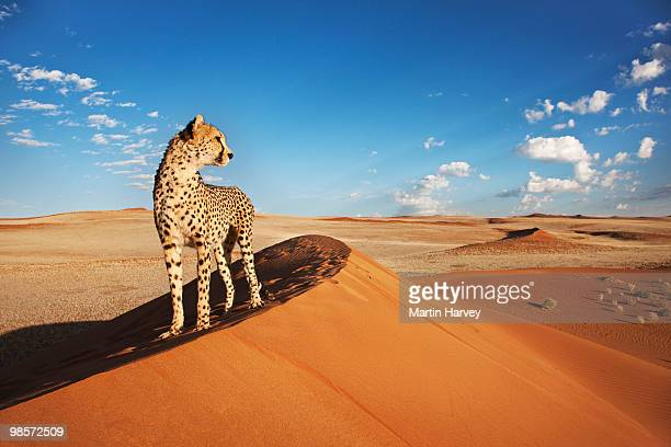 Cheetah in desert environment.