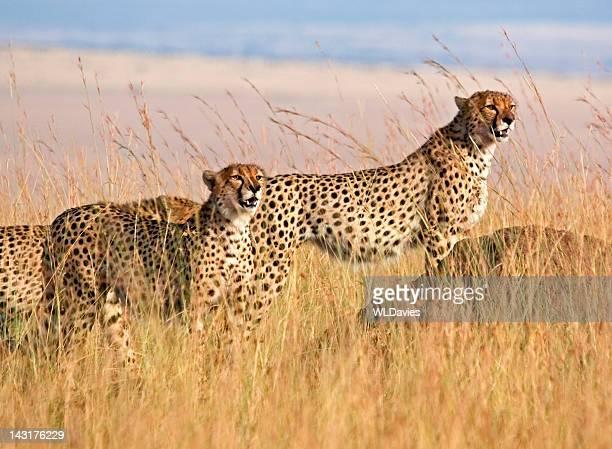 Cheetah in high grass