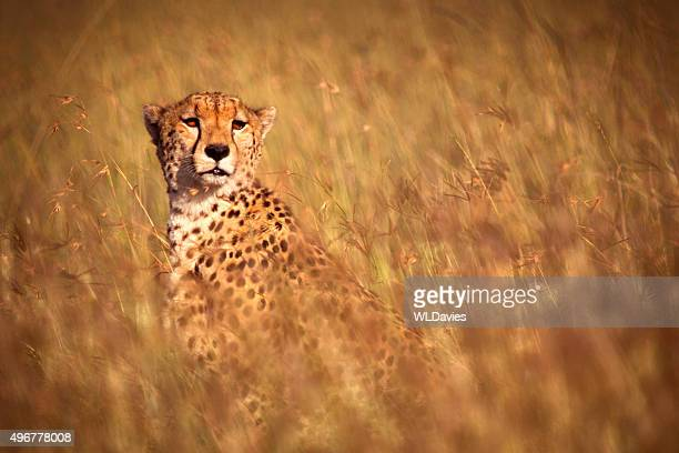 Cheetah in high grass