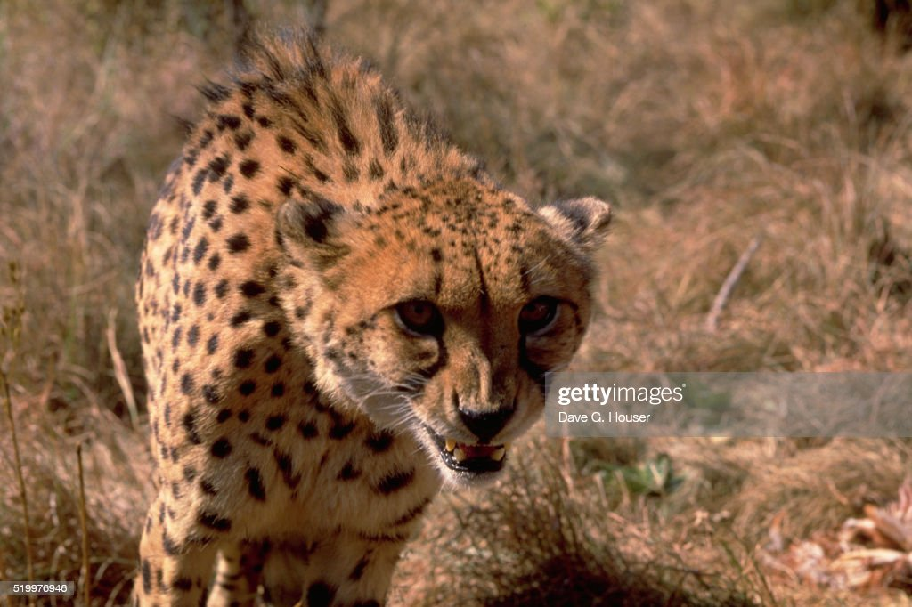 Cheetah in South African Game Reserve