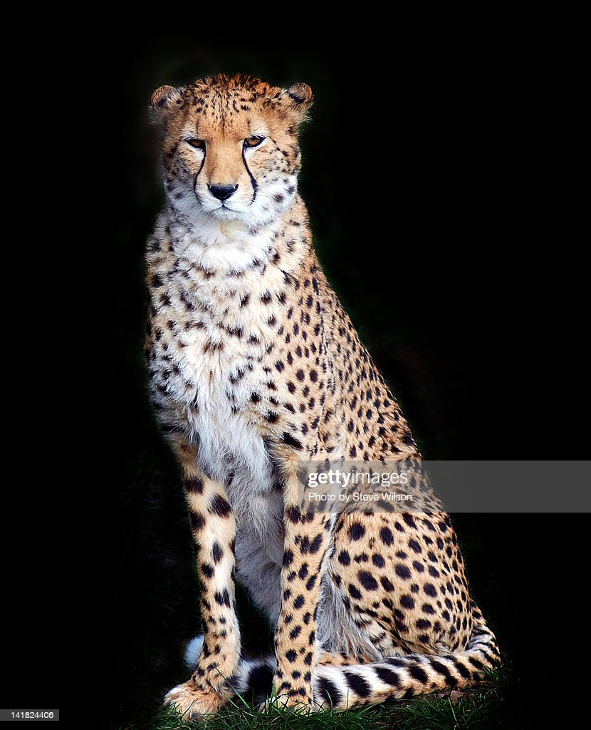Cheetah Isolated on Black Background : Stock Photo