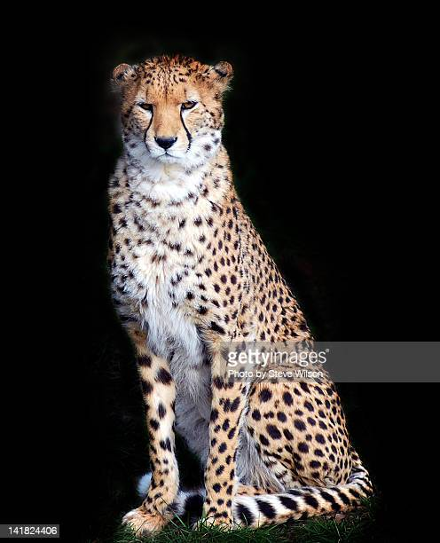 Cheetah Isolated on Black Background