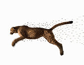 Cheetah jumping and losing spots, side view (Digital Composite)