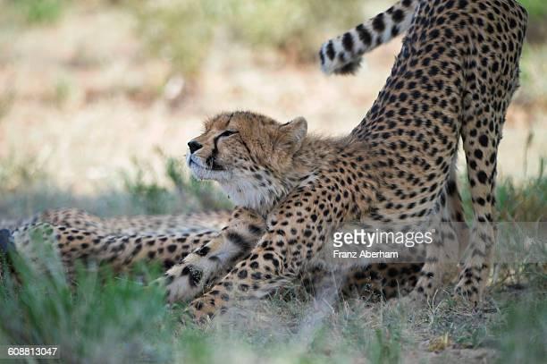 Cheetah, Kalahari