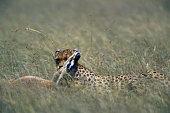 Cheetah Killing a Thomson's Gazelle