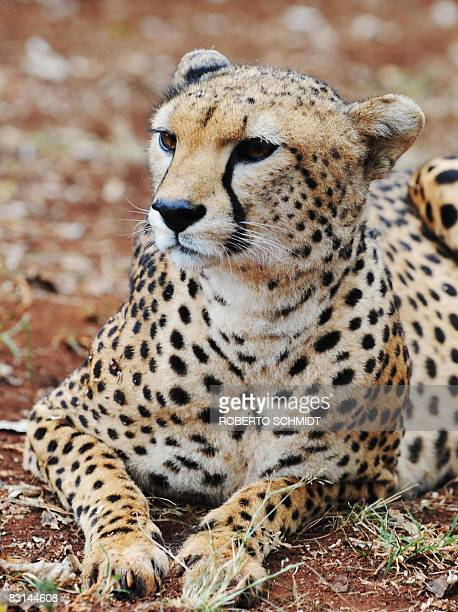 A Cheetah lays down while on display at the animal orphanage in Nairobi's National Park on October 3 2008 According to the African Wildlife...
