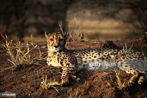 A cheetah lies at The Cheetah Conservation Fund center in Otjiwarongo Namibia on August 13 2013 The CCF started breeding Anatolian livestock dogs to...