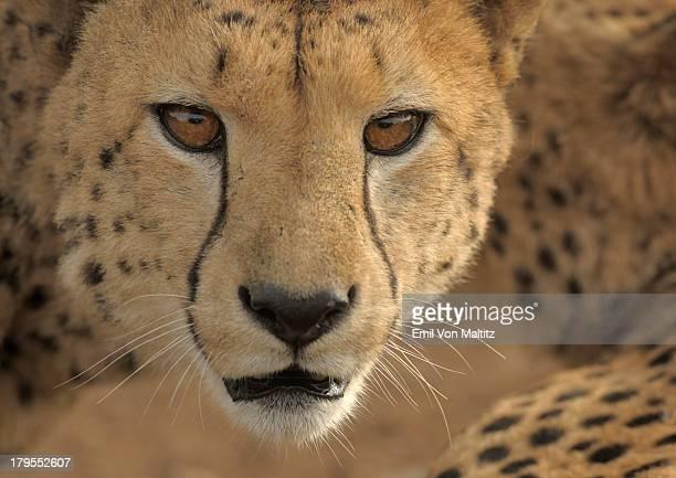 Cheetah looking directly at camera, South Africa