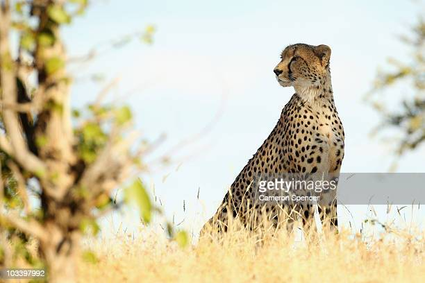 A cheetah looks out across a savannah at the Mashatu game reserve on July 24 2010 in Mashatu game reserve Botswana Mashatu is a 46000 hectare reserve...