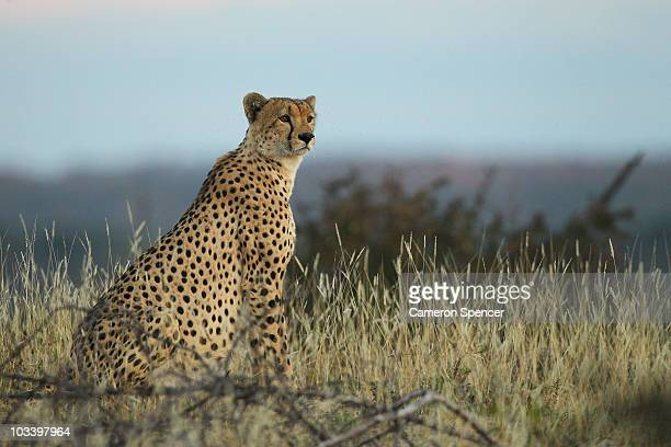 A cheetah looks out over plains at the Mashatu game reserve on July 24 2010 in Mashatu game reserve Botswana Mashatu is a 46000 hectare reserve...