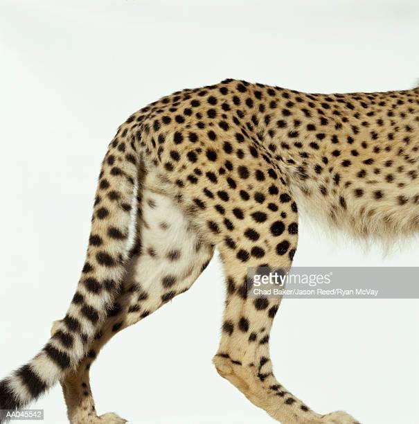 Cheetah (Acinonyx jubatus), low section