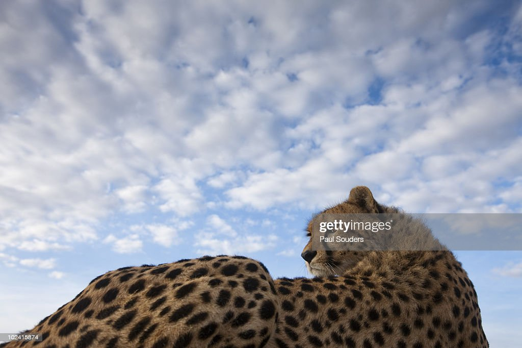 Cheetah, Masai Mara Game Reserve, Kenya : Stock Photo