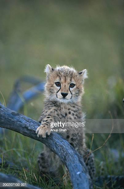 Cheetah (Acinonyx jubatus) Masai Mara, Kenya