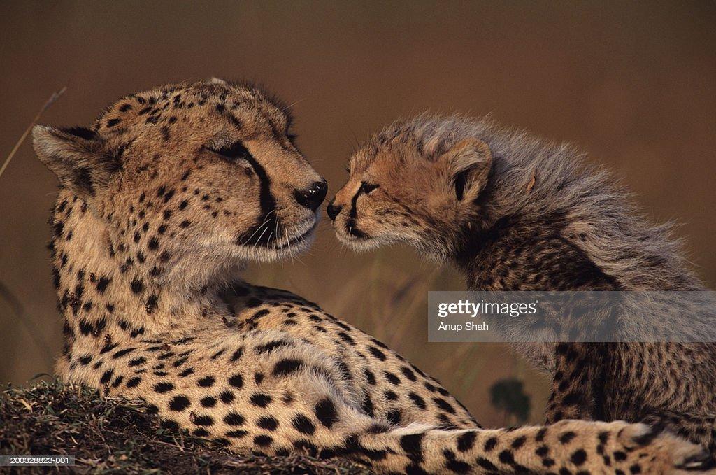Cheetah mother and cub (Acinonyx jubatus) face to face, Kenya : Stock Photo