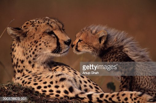 Cheetah mother and cub (Acinonyx jubatus) face to face, Kenya : Stock Photo